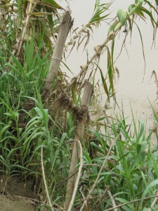 Bamboo is often use to reinforce river banks.